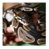 gaga117 - éleveur de reptile Reptilzer