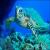 La tortue des Caraibes