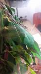 Nagini - Serpent des blés (9 mois)