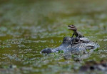 Yupie - Crocodile Mâle (1 mois)