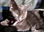 Chat Maribelle - Femelle (6 mois)