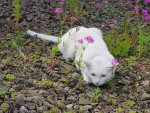 Chat blanc (1) - Chat