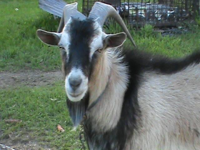 Zeus - Chèvre Mâle (2 ans)