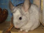 Chinchilla C\'est mon chinchilla! - Femelle (2 ans)