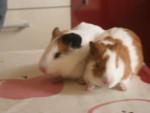 Cochon d\'inde à poil lisse manolito - Mâle (3 ans)