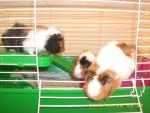 Cochon d\'Inde guinea pigs - Femelle (Autre)