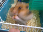 misi - Hamster (2 ans)