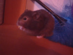 Hamster lolie -  (Vient de naître)