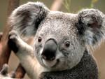Koala koala - Femelle (1 an)
