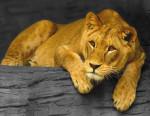 Lion Nala - Femelle (1 an)