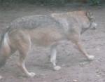 Loup [Touroparc] Beau Loup -  (Vient de naître)