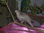 Liberté - Oiseau (1 mois)
