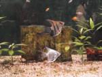 Poisson scalaire - Femelle (5 ans)