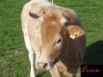 Prairie - Vache