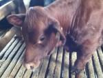 Choco - Vache (9 mois)