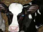 Fanny - Vache