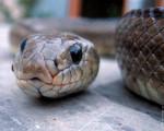 Serpent tomy -  Mâle (3 ans)