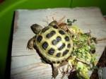 Tortue tortu -  Mâle (3 ans)