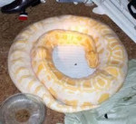 Serpent Silver -  Femelle (4 ans)