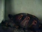 Tortue Katniss -  Femelle (Vient de naître)