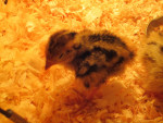 petite quaille - (1 mois)