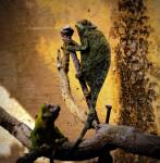 Chameleon - (1 mois)