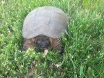 Tortue Snapping turtle -   (Vient de naître)