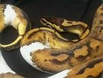Serpent Pandora -  Femelle (4 ans)