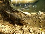 Crocodile Rude -   (Vient de naître)