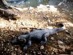 Crocodile coco -   (Vient de naître)