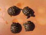 Nos 4 bébés tortues - (1 mois)