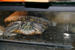 Tortue - (22 ans)
