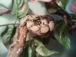 luna (boa constrictor) - (1 an)