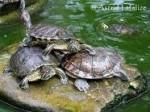 Tortue trois tortue titi-nini et nana -   (Vient de naître)
