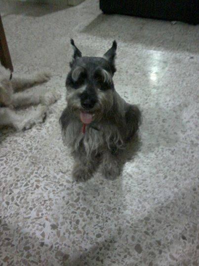 Bongo - Mâle (8 ans)